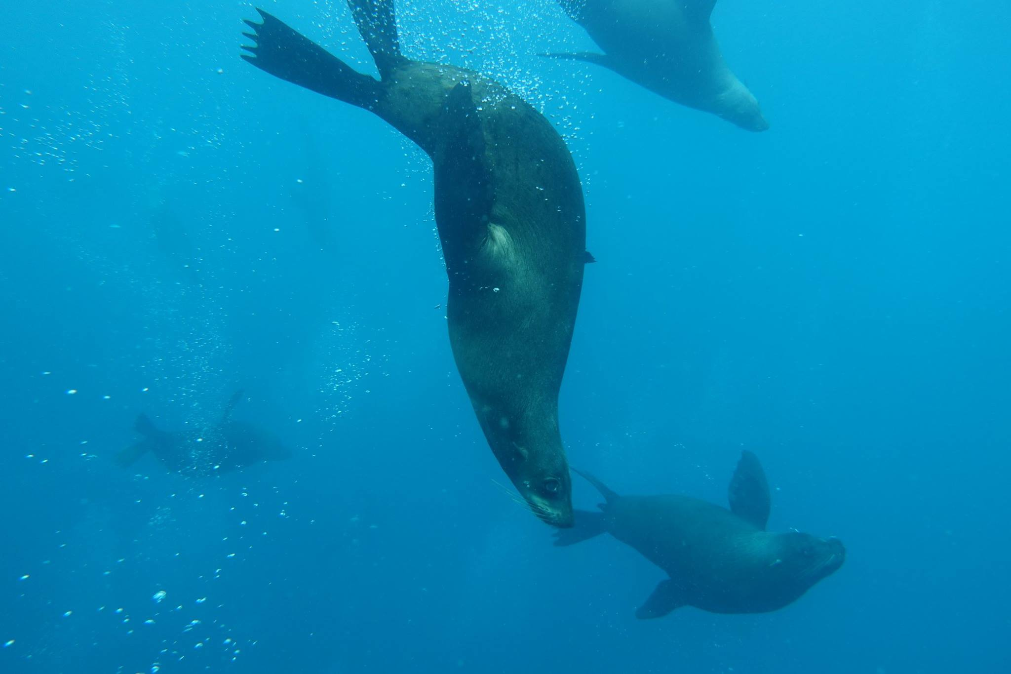 How Does A Seal Dive So Well?