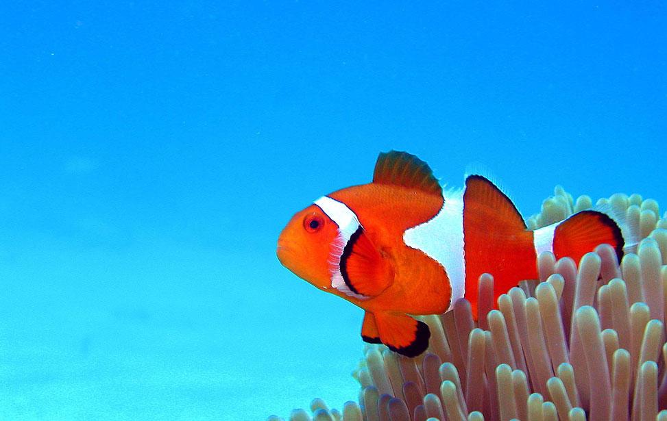 clown-fishe-and-anemone.jpg