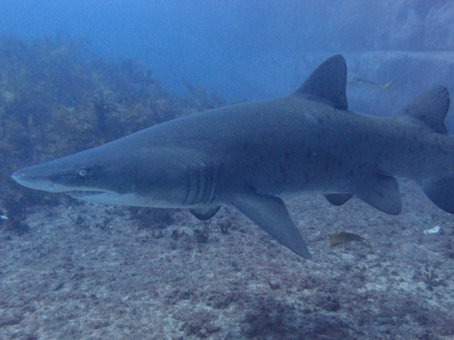 Shark Diving In Nsw