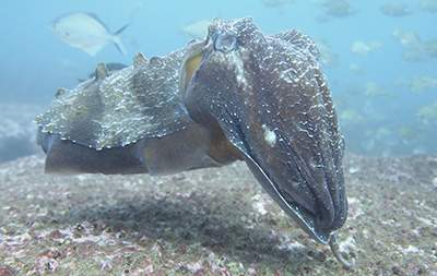 Gaint Cuttlefish