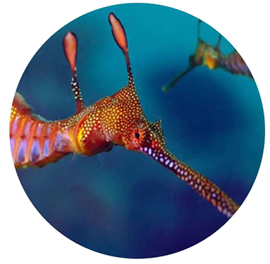 Guided Seadragon Dive